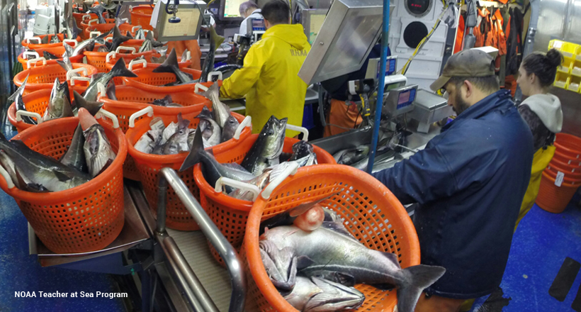 Cod, pollock, and haddock in baskets waiting to get counted and measured