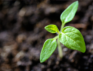 A plant sprouts from rich soil